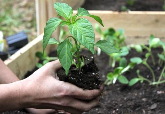 Plant-veggies